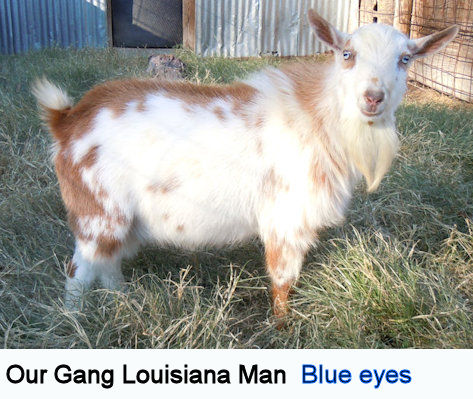 The Tyny Goat Ranch Oklahoma City Oklahoma Usa Pygmy And